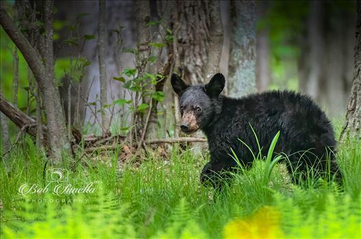 Black Bear Cub in Greenery by Buckmaster
