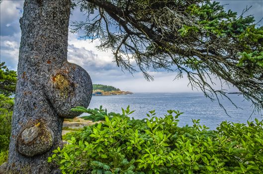 Knobby Tree at Acadia by Buckmaster