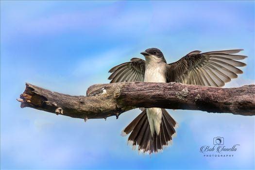 Kingbird_Open_Wings by Buckmaster