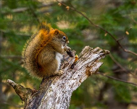 Maine Red Squirrel by Buckmaster