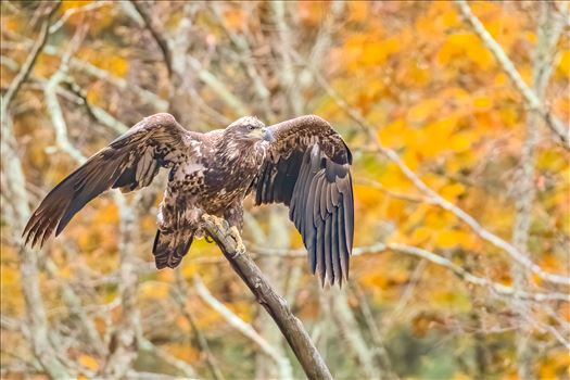 Eagle With Foliage Color by Buckmaster