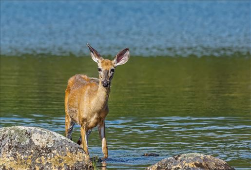 Whitetail Deer by Buckmaster