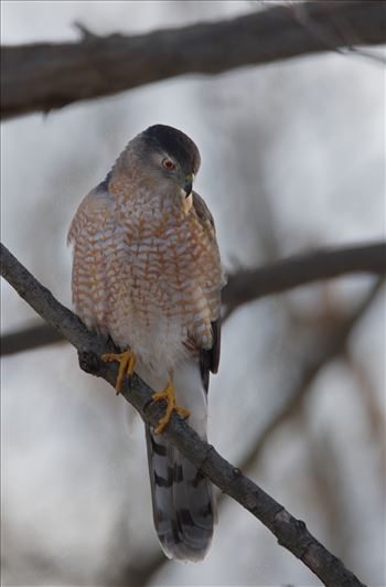 Sharp-Shinned Hawk by Buckmaster