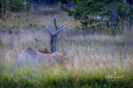 Bull Elk Resting - Taking A Needed Rest After Tending To His Harem Of Cows