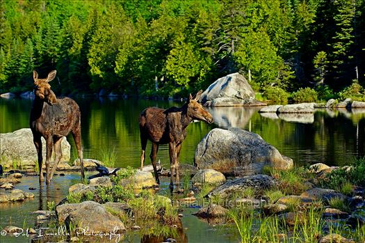 2 Moose at Sandy Stream Pond, BSP, Maine2_wm.JPG by Buckmaster