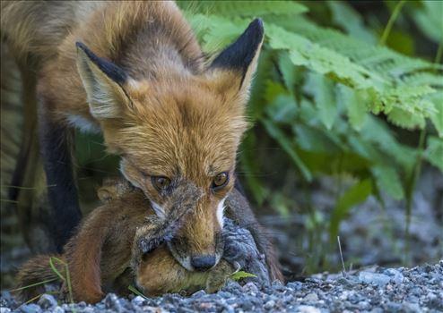 Maine Red Fox by Buckmaster