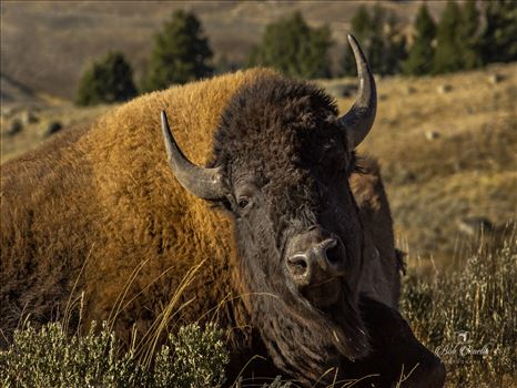 North American Bison in Lamar Valley, Wyoming, 2018 -