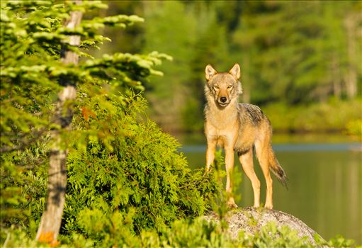 Coyote by Buckmaster
