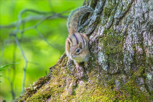 Maine Chipmunk by Buckmaster