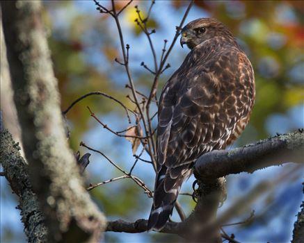 Hawk - Taken Near Milford, PA