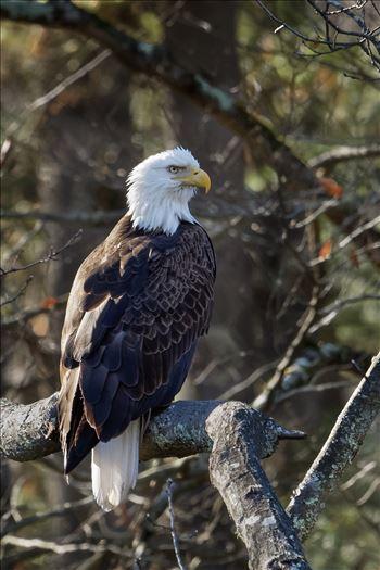 Bald Eagle - American Bald Eagle taken in New York State