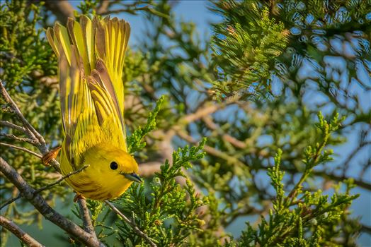 Yellow Warbler_Wings out by Buckmaster