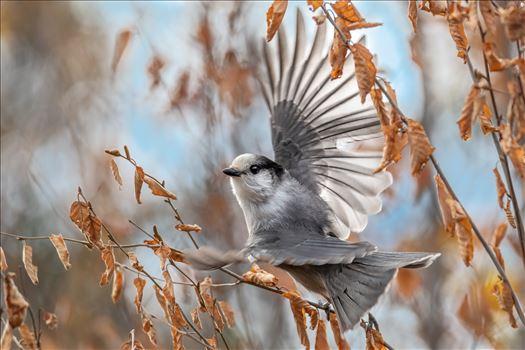 Gray_Jay_Wings by Buckmaster