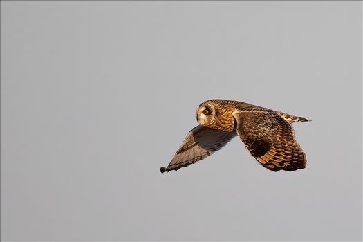 Short Ear Owl In Flight by Buckmaster