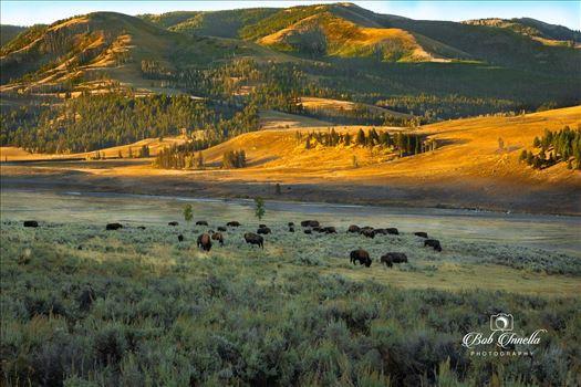 Bison On Lamar Valley, Wyoming by Buckmaster