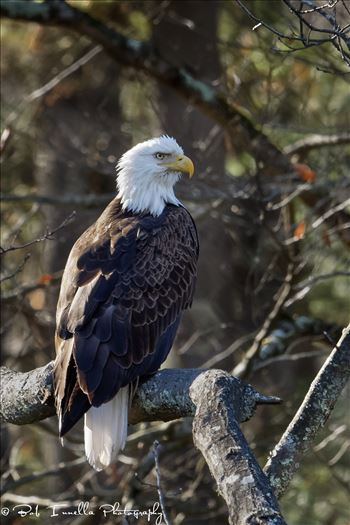 Bald Eagle_Tree by Buckmaster