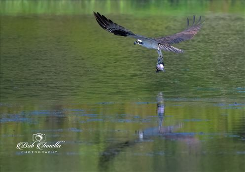 Osprey_with_Catfish by Buckmaster