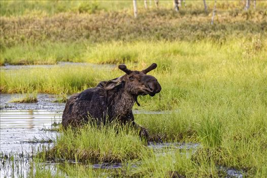 Moose in the Bog by Buckmaster