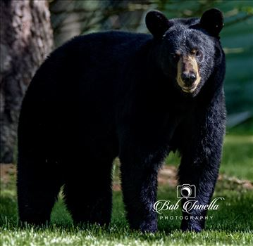 Black Bear_1669 by Buckmaster