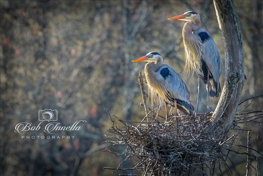 Great Blue Heron Parents On The Nest by Buckmaster
