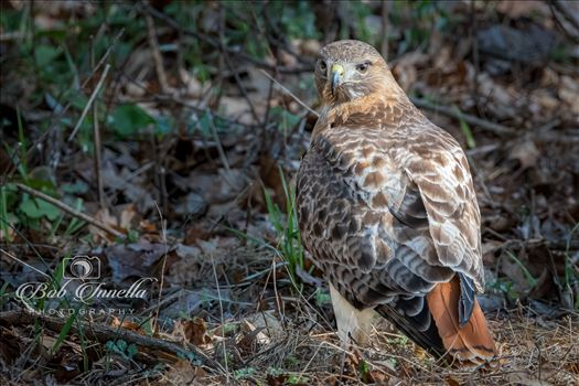 Red_tail_Hawk by Buckmaster