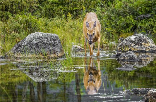 Deer Reflection by Buckmaster