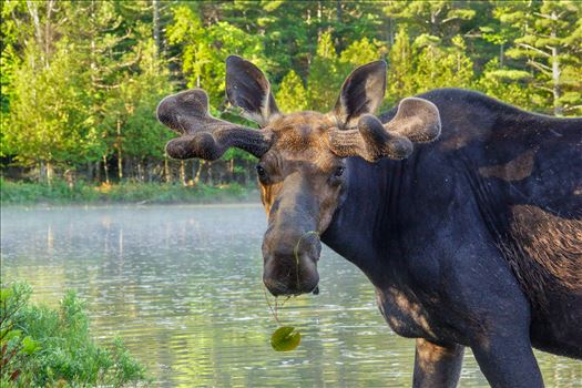 Up Close Bull Moose - Taken in June 2015 in Northern Maine, USA