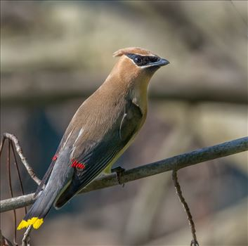 Cedar Waxwing - Photographed a museum of these on the Delaware River, Dingmans, Pa 2017