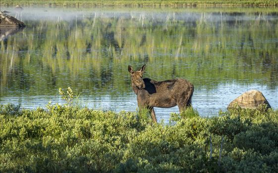 Early Riser Moose by Buckmaster