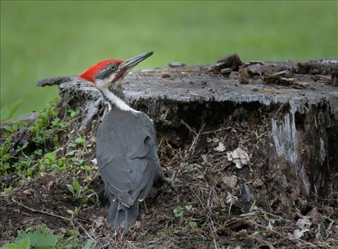 "Pileated Woodpecker ""Woody"" by Buckmaster"