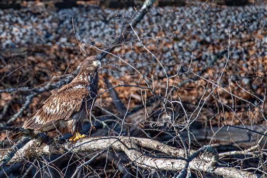 Lackawaxan Juvenile Eagle by Buckmaster