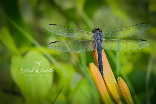 Dragonfly on a Day Lily (1 of 1).jpg by Buckmaster