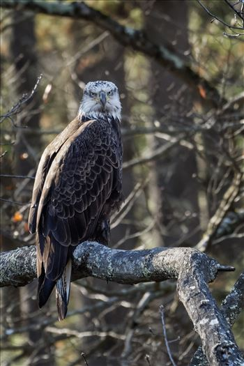 Juvenile Bald Eagle Perched by Buckmaster