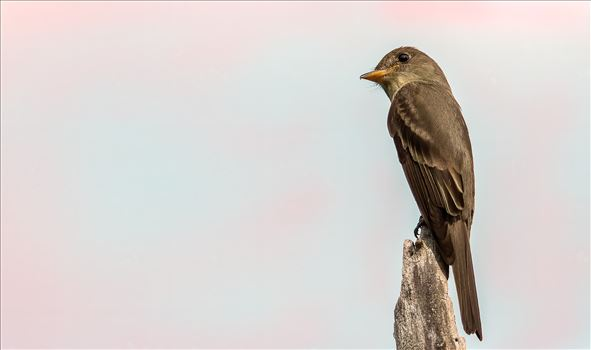 Kingbird_Pink Skies by Buckmaster