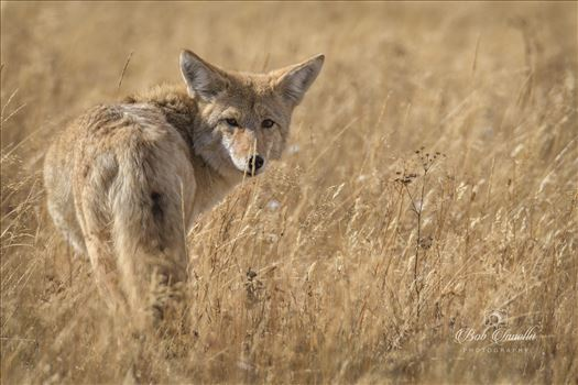 Western Coyote by Buckmaster