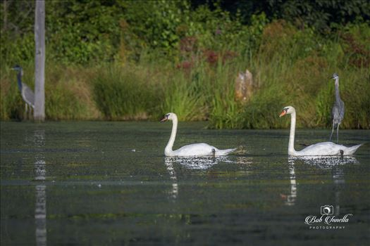 Wild White Swans - 2 White Swans with Two Great Blue Herons, Layton, NJ, National Park Service Land 2018