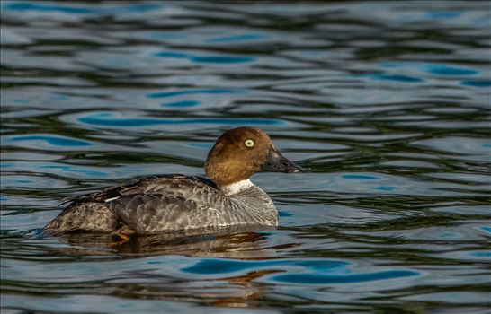 Golden Eye, Duck by Buckmaster