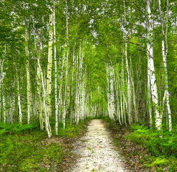 Birch Trees - Trail to Blueberry Ledges in Baxter State Park, Maine