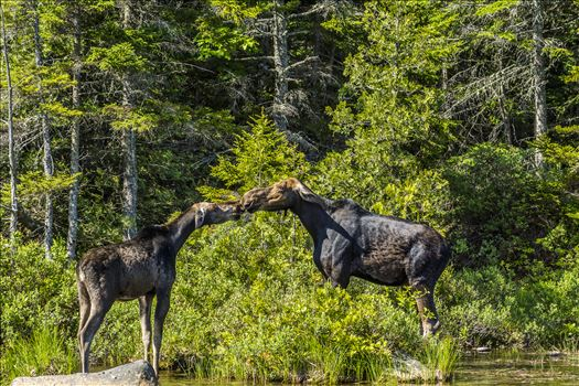 The Moose Kiss - By the looks of their ears I don\u0027t think this is a memorable kiss