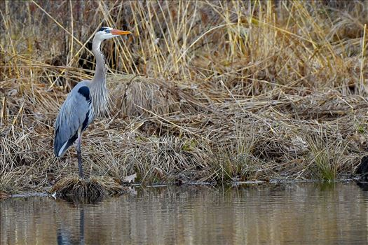 Great Blue Heron1 by Buckmaster