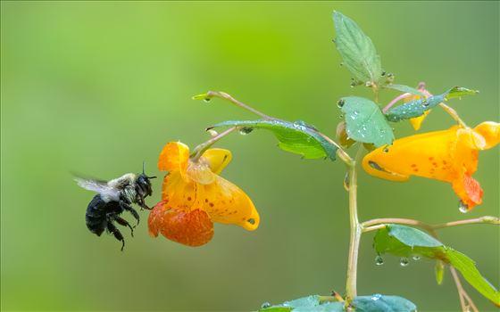 Bee_Orange_Flower.jpg by Buckmaster