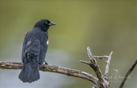 Red Winged Blackbird by Buckmaster