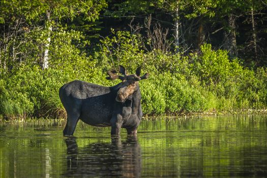 Muscle Bound Bull Moose by Buckmaster