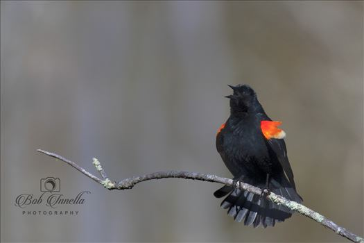 Red_wing_Blackbird by Buckmaster