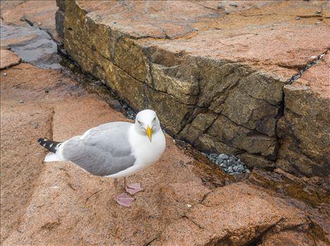 Sea Gull - Acadia, Maine Sea Gull