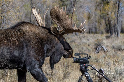 Moose_Camera by Buckmaster