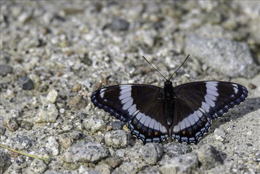 Butterfly by Buckmaster