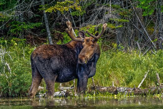 Bull Moose - Taken in June 2015 in Northern Maine, USA