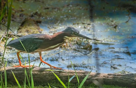Green Heron Walking On Log by Buckmaster