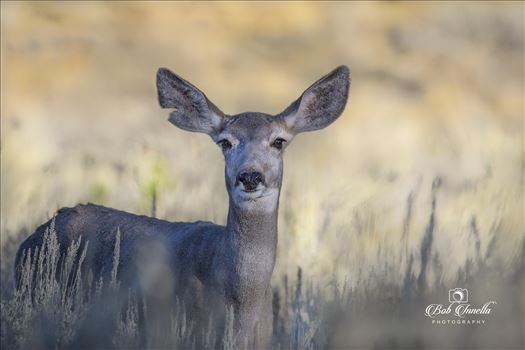 Mule Deer Doe Feeding in Wyoming 2018 -